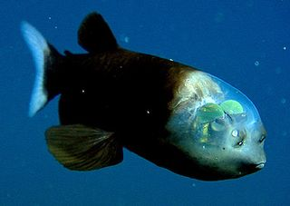 MBARI News Release - Researchers solve mystery of deep-sea fish with tubular eyes and transparent he